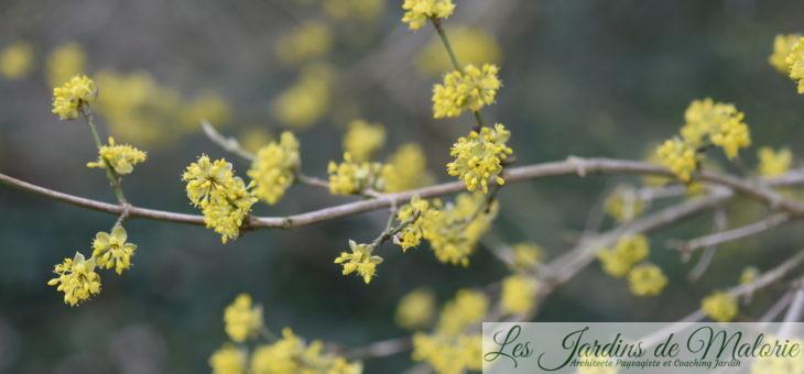 Le Cornus mas, un arbrisseau fleuri en hiver