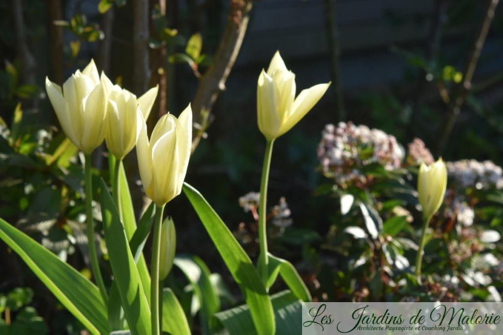 tulipes fosteriana 'Purissima' aussi appelées Tulipes 'White Emperor'