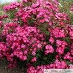 Octobre rose... ❤ ❤ ❤ Focus sur le Rosier 'Myriam courir pour elles'