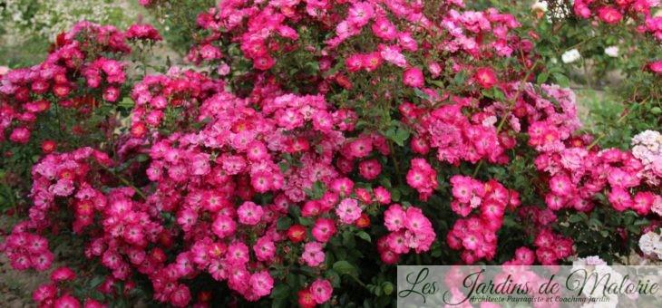 Octobre rose… ❤ ❤ ❤ Focus sur le Rosier 'Myriam courir pour elles'