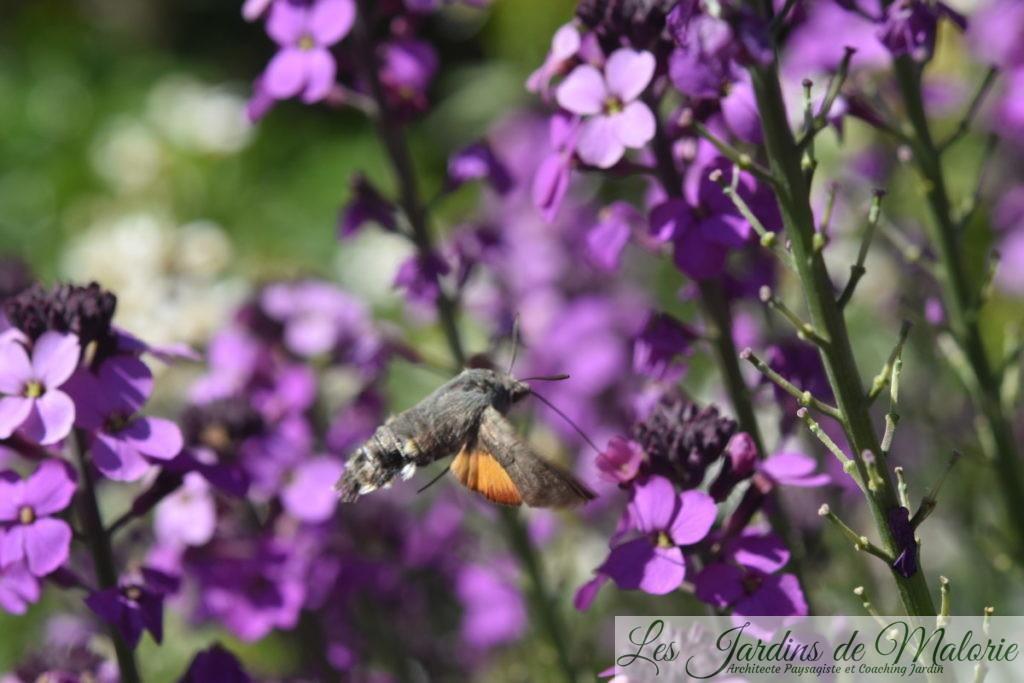 papillon Moro sphynx qui butine un erysimum