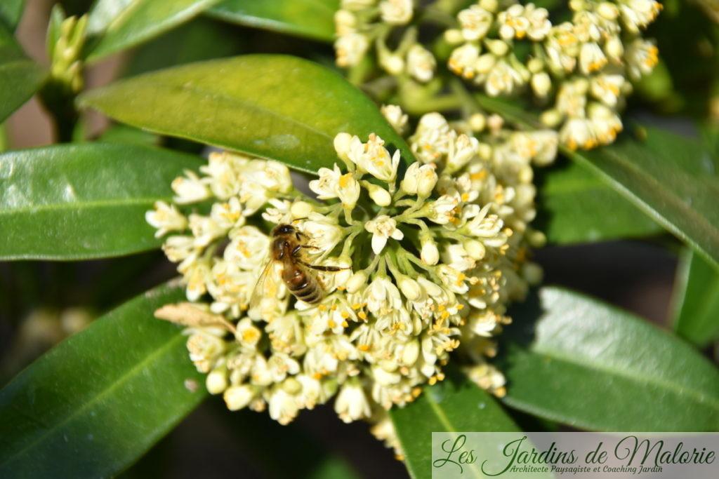 abeille sur le skimmia 'Kew Green'