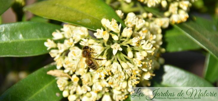 Parfums du jardin : Skimmia 'Kew Green'