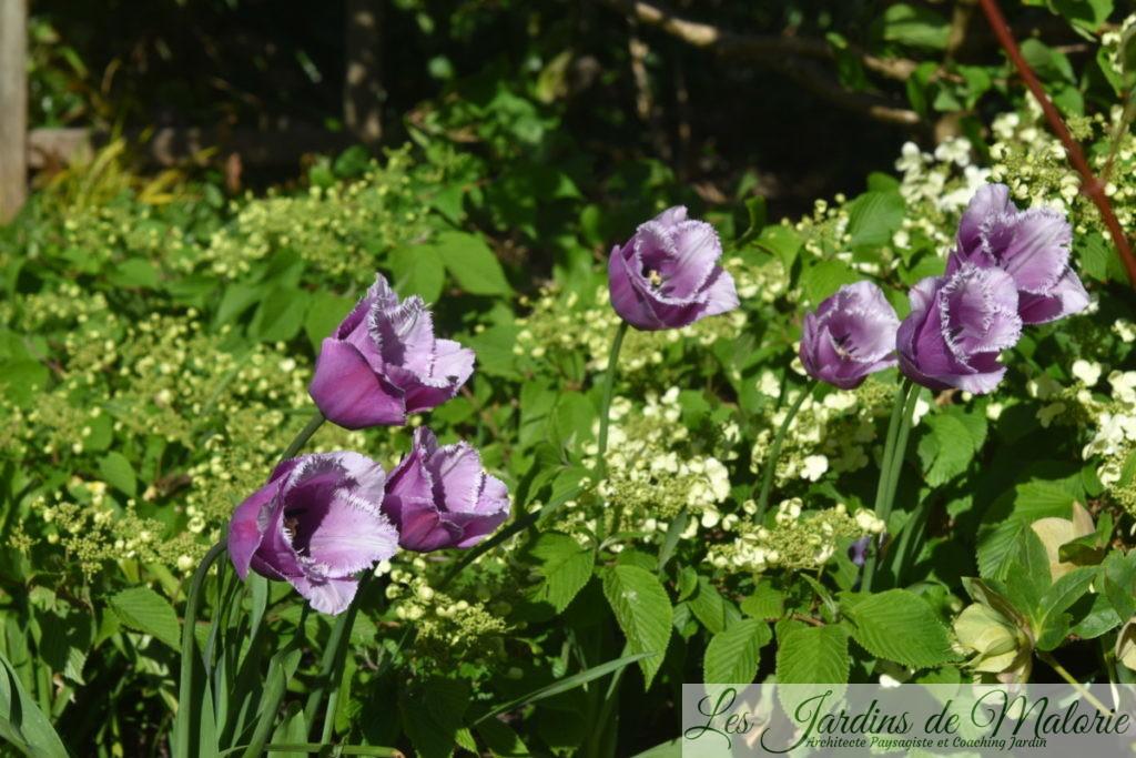 tulipes frisées 'Bleu Heron'