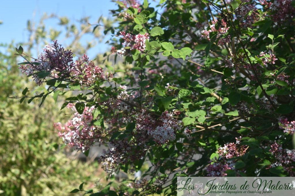 lilas (syringa microphylla 'Superba')