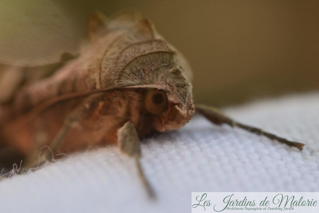 Papillon La Méticuleuse, Phlogophora meticulosa
