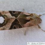 🦋 Un papillon militaire... La méticuleuse