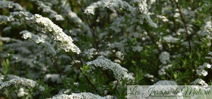 Parfums du jardin : la Spirée arguta
