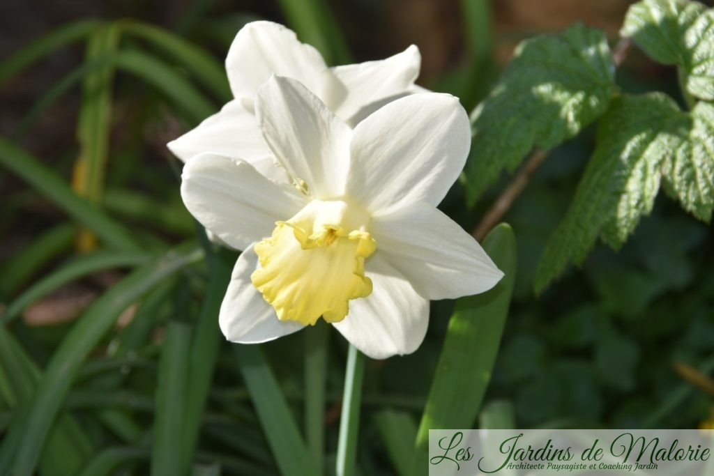 narcissus 'Every Day'