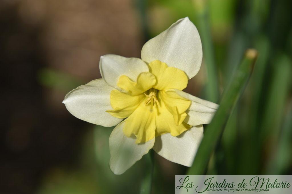 narcissus 'Bella Estrella',