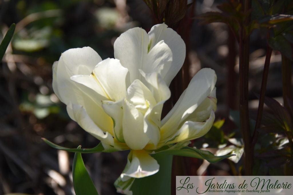 tulipa 'Exotic Emperor