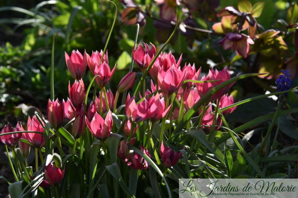 tulipes botaniques 'Little Beauty'