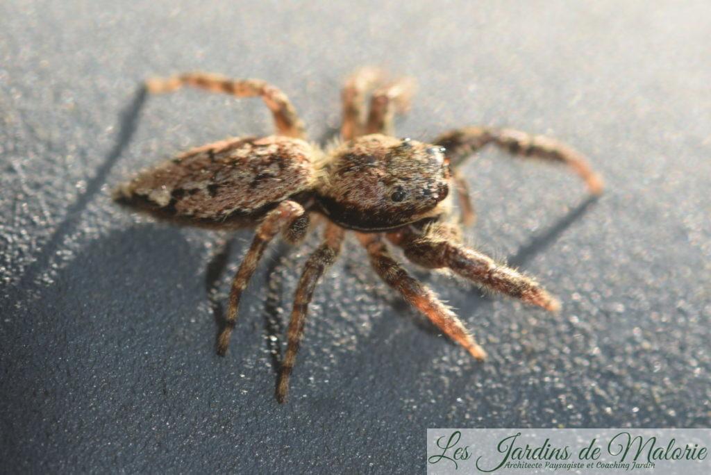araignée sauteuse, famille des Salticides (Salticidae)