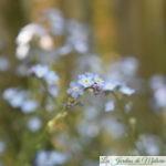 """Le myosotis des jardins, """"herbe d'amour"""""""