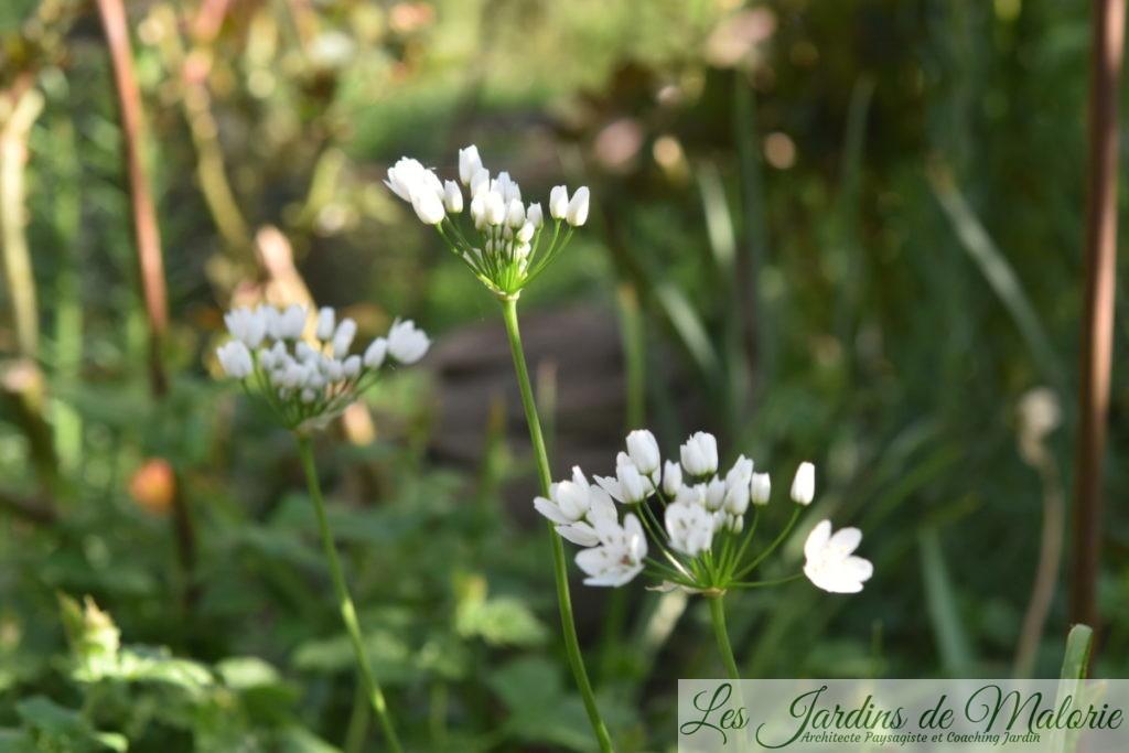 Allium neapolitanum ou Ail de Naples