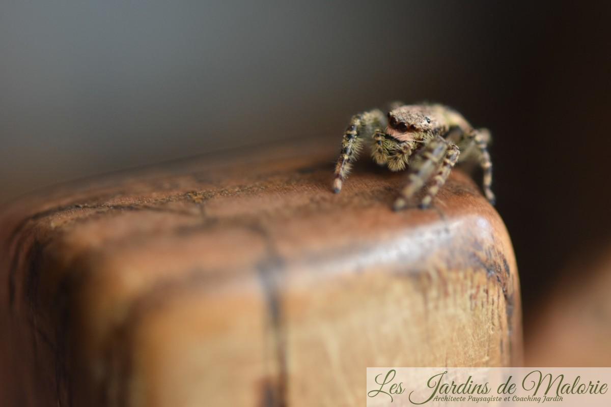 Les araignées sauteuses Salticides (Salticidae)