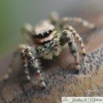 🕷 Araignée sauteuse