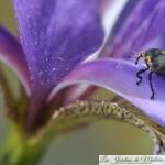 Le charançon de l'iris des marais
