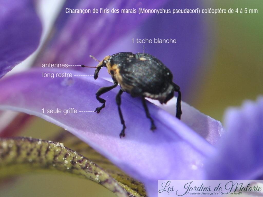 le charançon de l'iris des marais, Mononychus pseudacori, Mononychus punctum-album