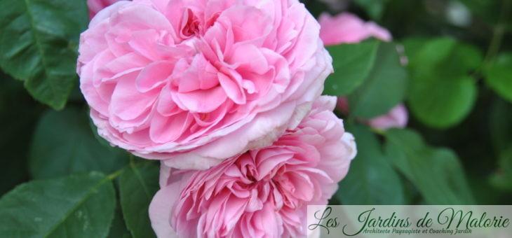 🌹 Petit florilège de mes roses les plus parfumées