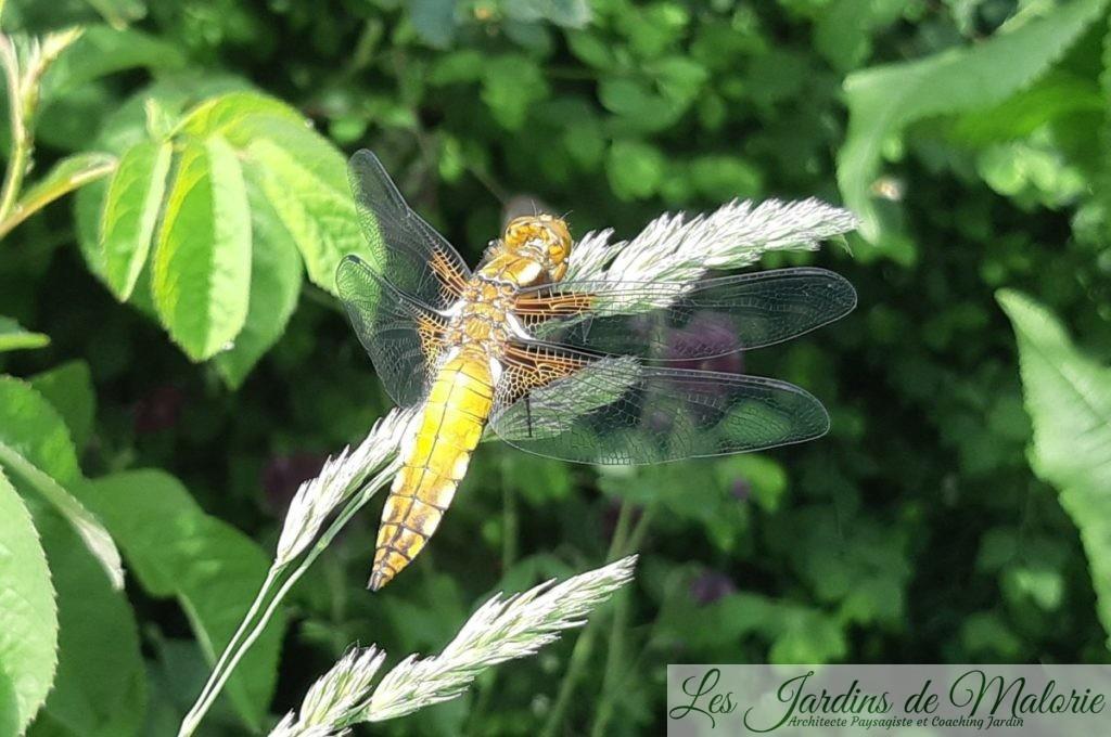 La libellule déprimée, Libellula depressa