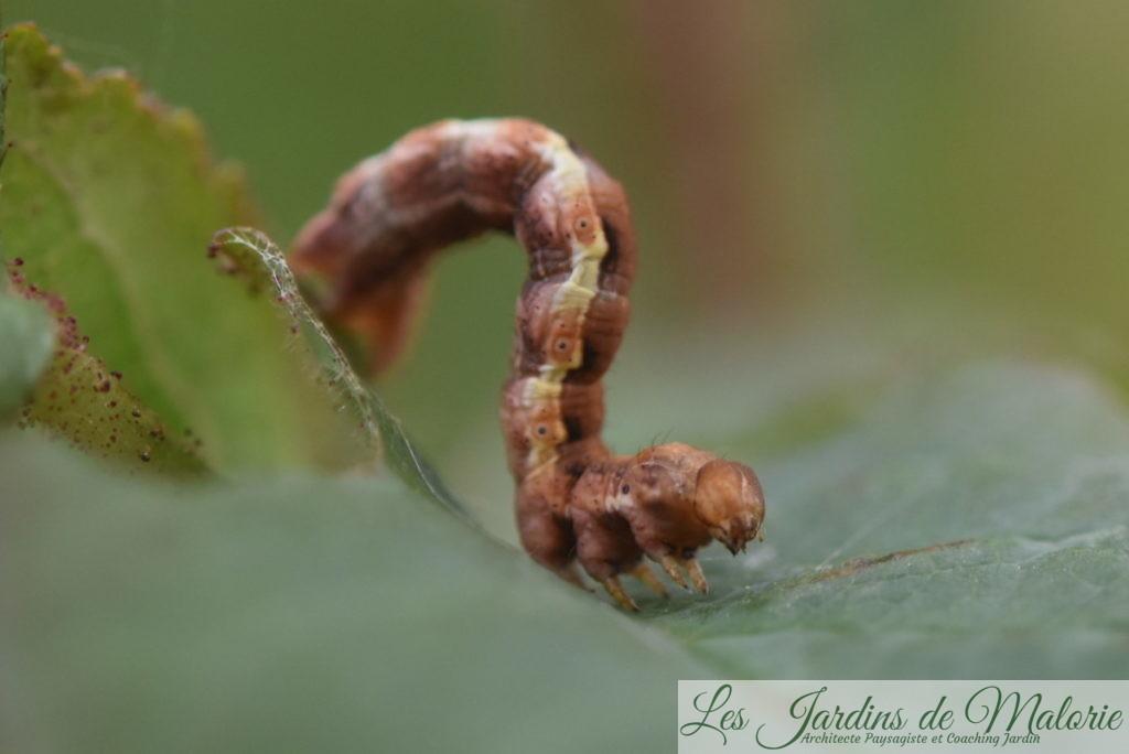 Chenille de l'Hibernie défeuillante, Erannis defoliaria, (Clerck, 1759) aussi appelée Phalène ou Géomètre défeuillante,
