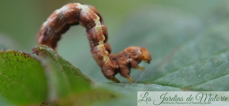 🐛 Chenille de l'Hibernie défeuillante, un papillon sans ailes!