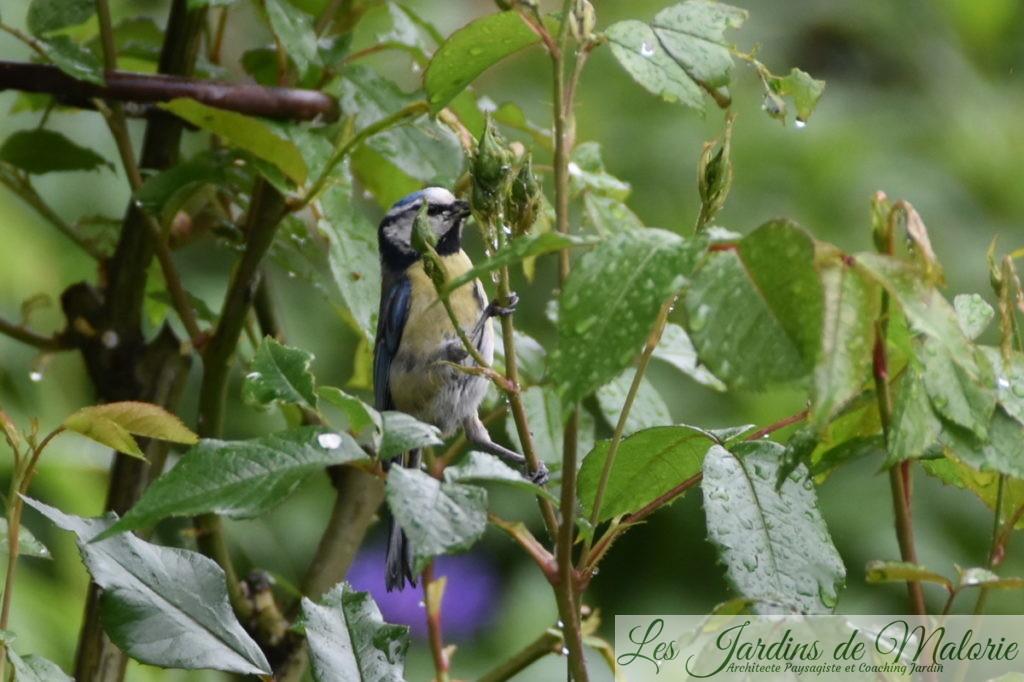 une mésange bleue mange les pucerons sur un rosier