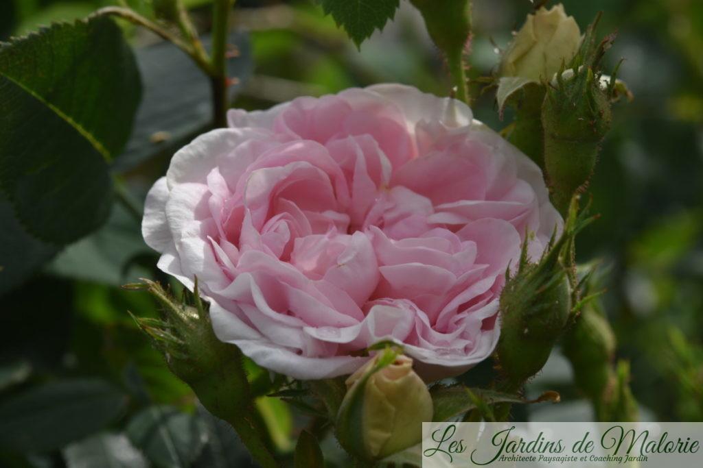 rosier 'Cuisse de Nymphe'