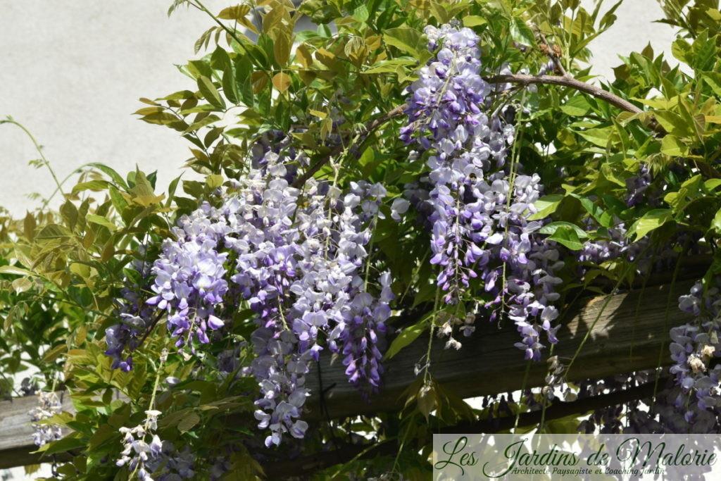 glycine, wisteria chinensis