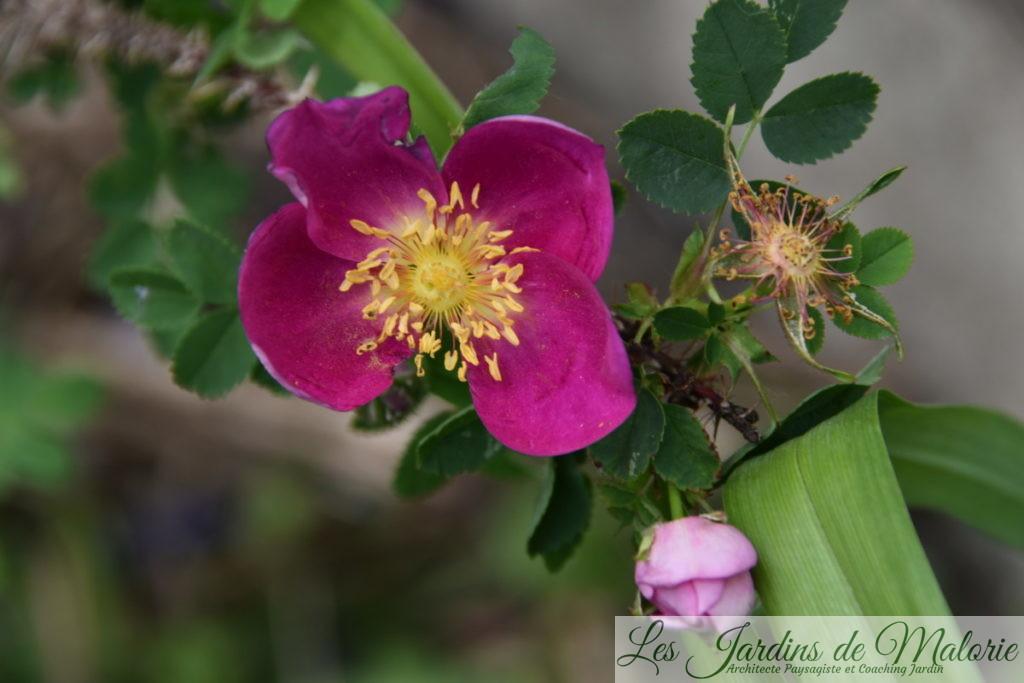 rosier 'Single Cherry', première floraison d'une bouture reçue de mon amie Béné