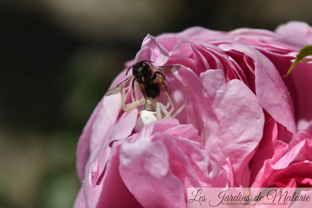 araignée crabe qui a capturé une proie dans le rosier 'Charles Rennie Mackintosh'