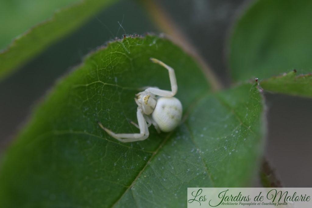 araignée crabe – Thomise variable (Misumena vatia)