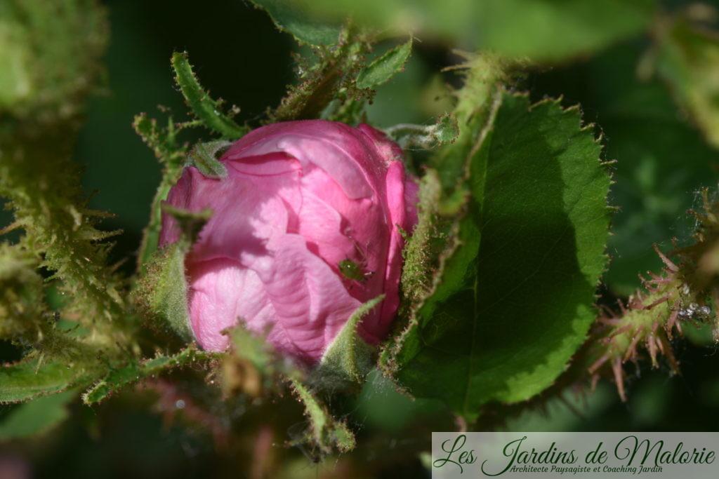 rosier 'Zoé'