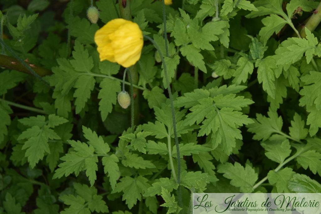 Un coquelicot jaune, le pavot des Pyrénées (Meconopsis cambrica)