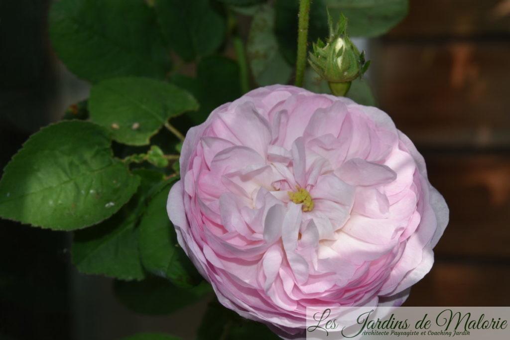 rosier 'Duchesse de Montebello'