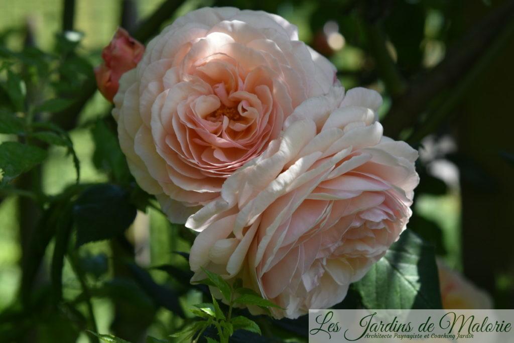 rosier 'A Shropshire Lad'