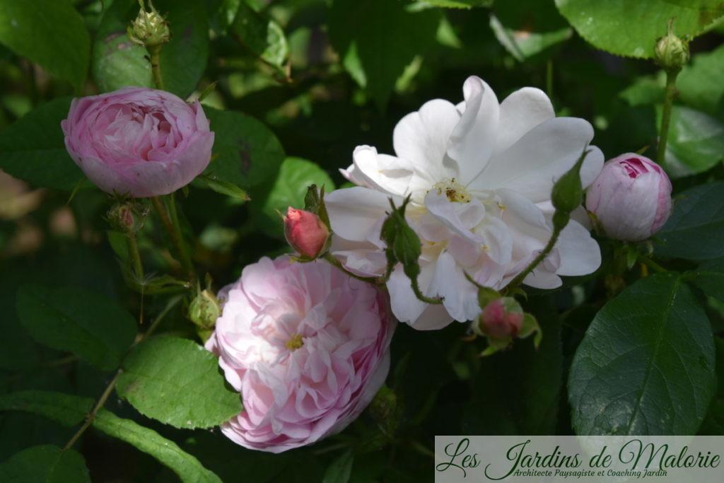 rosiers 'Duchesse de Montebello' et 'Sourire d'Orchidée'