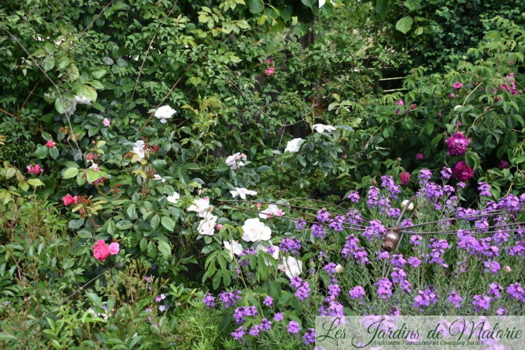 rosa 'Pearl Drift' et giroflée 'Bowles mauve'