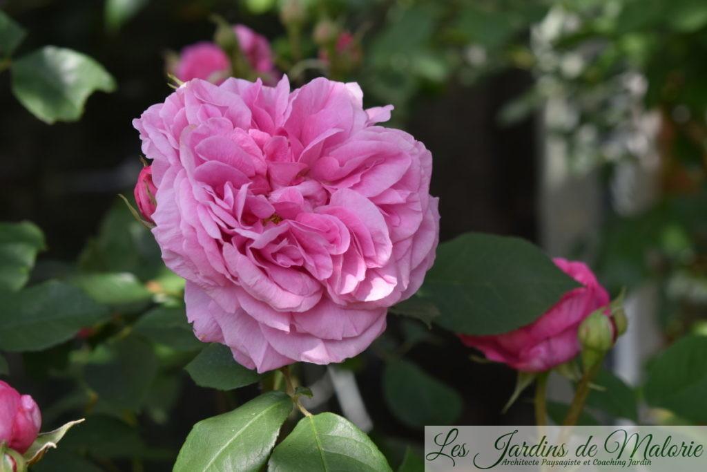 rosier 'Gertrude Jekyll'