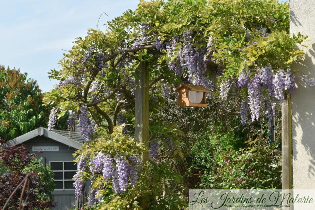 glycine de Chine, wisteria sinensis
