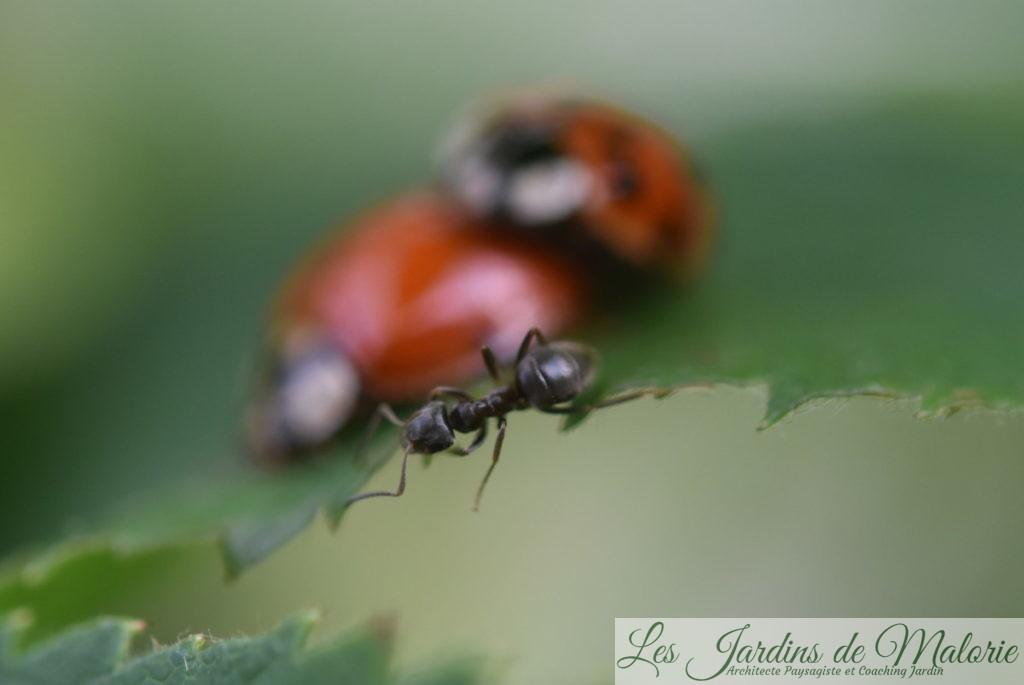 fourmi et coccinelles