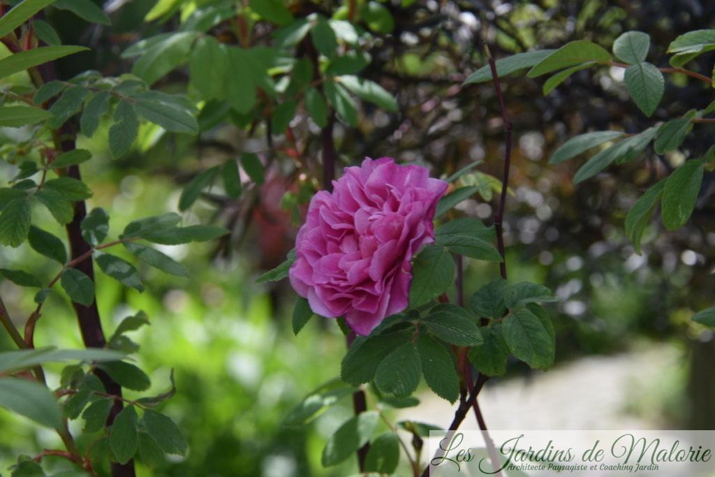rosier 'Therese Bugnet' et sambucus nigra 'Black Lace'
