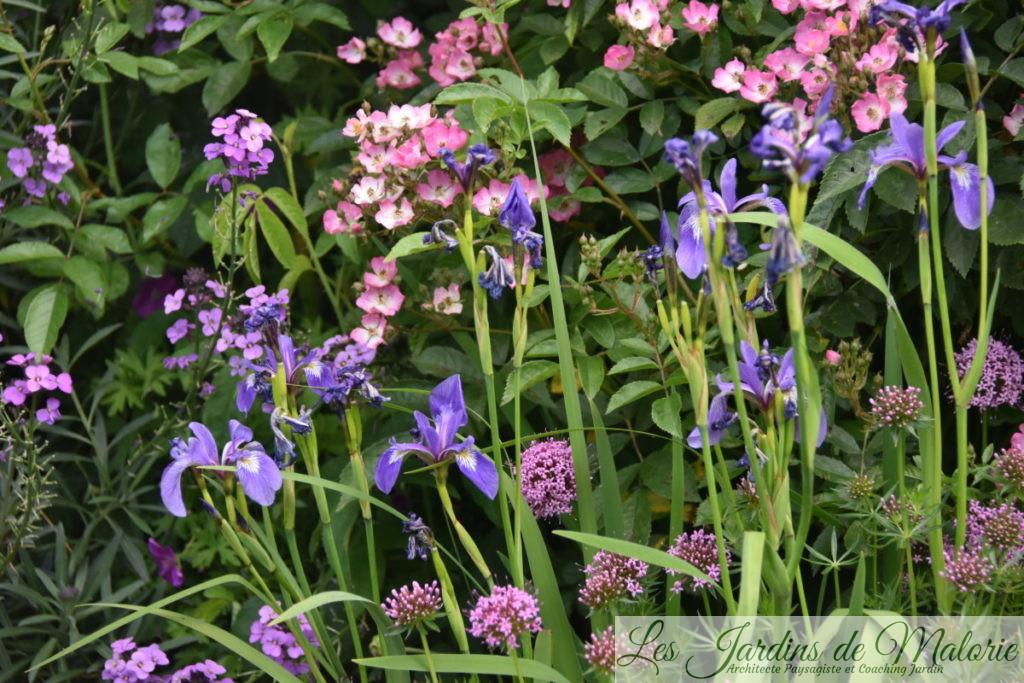 giroflée 'Bowles mauve', iris versicolor, rosier 'Puccini' et crucianelle