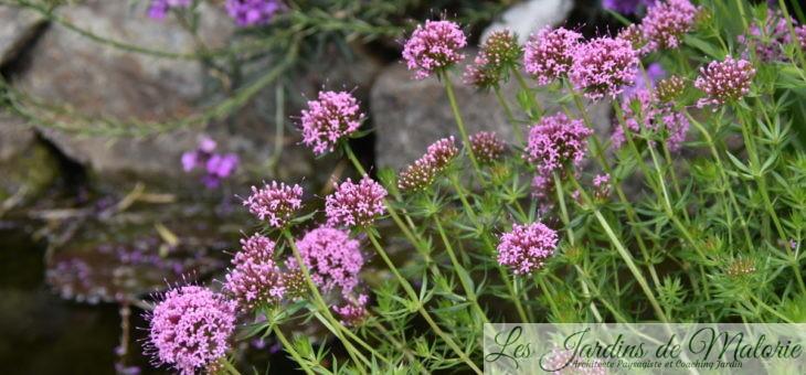 Etincellante crucianelle ! (Phuopsis Stylosa)