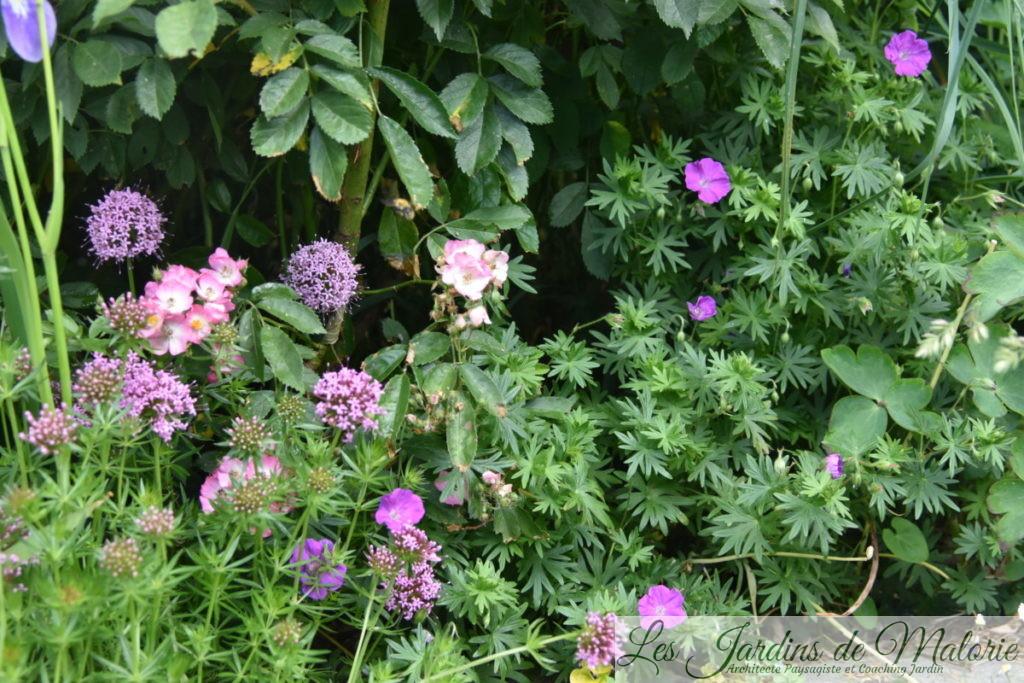 Phuopsis Stylosa (cruccianella) , géranium sanguineum et rosier 'Puccini' au bord du bassin