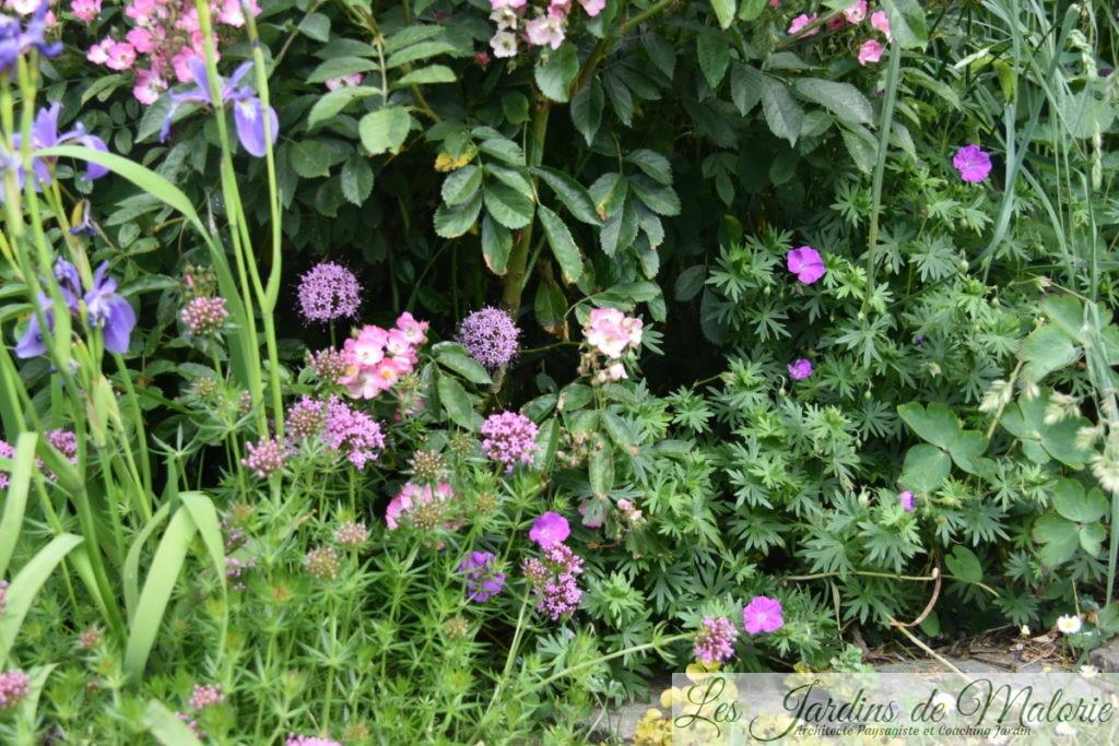 iris versicolor, crucianelle et géranium sanguineum