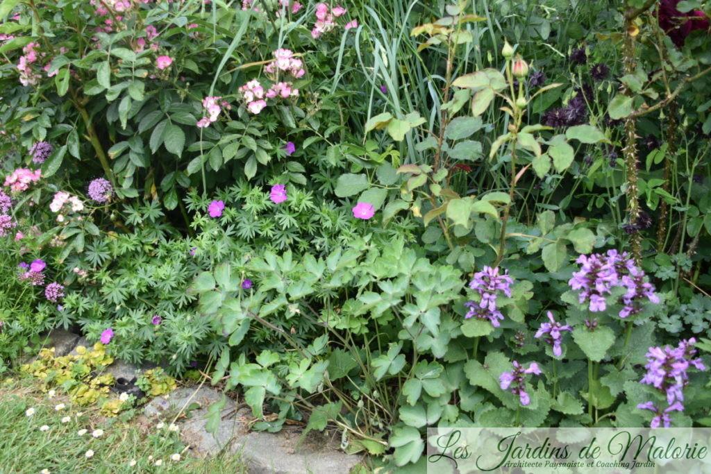 crucianelle, rosa 'Puccini', géranium sanguineum, ancolie, stachys grandiflora