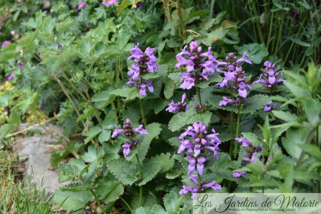 stachys grandiflora