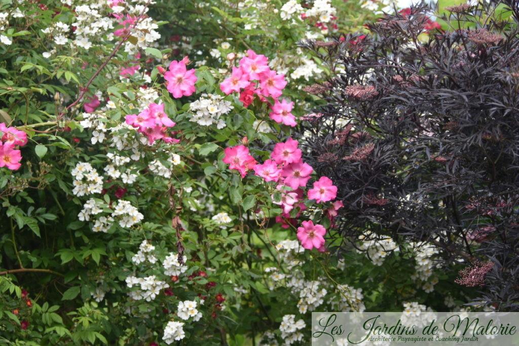 en blanc, le rosier liane issu d'un semis spontané de chez André Eve, et en rouge, le rosier 'Mademoiselle des minuits' une obtention d'andré Eve et sambucus nigra 'Black Lace'